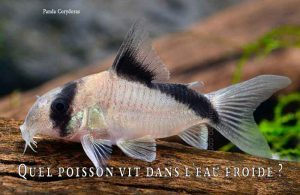 Fancy-Goldfish---Poissons-rouges-de-fantaisie-15