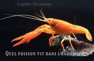 Fancy-Goldfish---Poissons-rouges-de-fantaisie-27