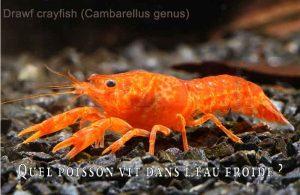 Fancy-Goldfish---Poissons-rouges-de-fantaisie-30