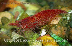 Fancy-Goldfish---Poissons-rouges-de-fantaisie-31