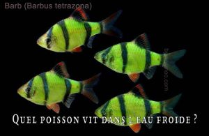 Fancy-Goldfish---Poissons-rouges-de-fantaisie-34