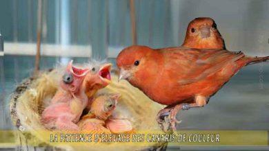 La-patience-d'élevage-des-canaris-de-couleur-00