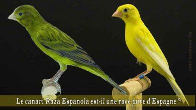 Le-canari-Raza-Espanola-est-il-une-race-pure-d'Espagne-00