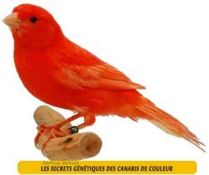 Les-secrets-génétiques-des-canaris-de-couleur-01