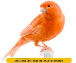 Les-secrets-génétiques-des-canaris-de-couleur-02
