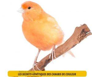 Les-secrets-génétiques-des-canaris-de-couleur-03