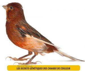 Les-secrets-génétiques-des-canaris-de-couleur-04