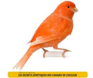 Les-secrets-génétiques-des-canaris-de-couleur-045jpg