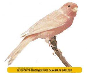 Les-secrets-génétiques-des-canaris-de-couleur-06