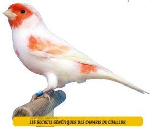Les-secrets-génétiques-des-canaris-de-couleur-07