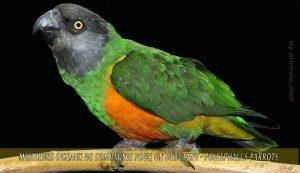 Meilleurs-oiseaux-de-compagnie-pour-un-débutant-08