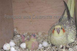Pourquoi-mon-Calopsitte-tremble-1200-800-04