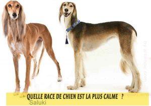Quel-chien-est-le-plus-calme-12-Saluki