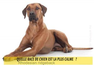 Quel-chien-est-le-plus-calme-14