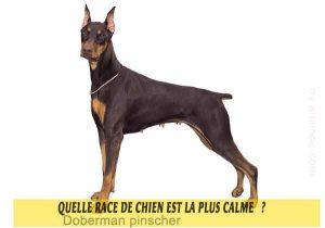 Quel-chien-est-le-plus-calme-15-Doberman-pinscher