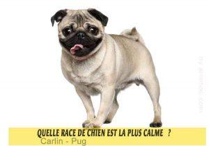 Quel-chien-est-le-plus-calme-16-Carlin---Pug