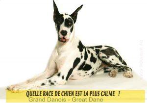 Quel-chien-est-le-plus-calme-17-Grand-Danois---Great-Dane
