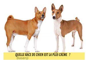 Quel-chien-est-le-plus-calme-18-Basenji