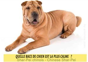 Quel-chien-est-le-plus-calme-20-Shar-Pei-chinois---Chinese-Shar-Pei