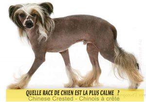 Quel-chien-est-le-plus-calme-21-Chinese-Crested---Chinois-à-crête