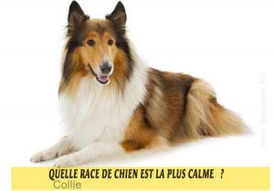 Quel-chien-est-le-plus-calme-22-Collie
