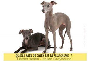 Quel-chien-est-le-plus-calme-23-Lévrier-italien---Italian-Greyhound