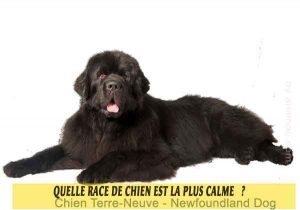 Quel-chien-est-le-plus-calme-24-Chien-Terre-Neuve---Newfoundland-Dog