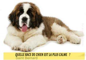 Quel-chien-est-le-plus-calme-25-Saint-Bernard