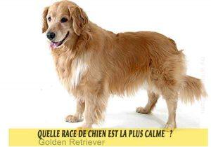 Quel-chien-est-le-plus-calme-27-Golden-Retriever