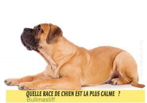 Quel-chien-est-le-plus-calme-28-Bullmastiff