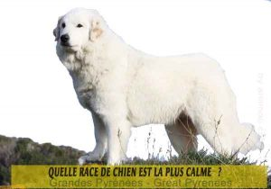 Quel-chien-est-le-plus-calme-29-Grandes-Pyrénées---Great-Pyrenees