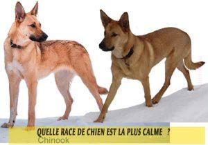 Quel-chien-est-le-plus-calme-31-Chinook