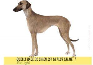 Quel-chien-est-le-plus-calme-33-Sloughi