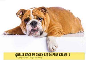 Quel-chien-est-le-plus-calme-34-Bulldog-anglais---English-Bulldog