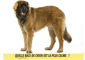 Quel-chien-est-le-plus-calme-35-Quelle-race-de-chien-est-la-plus-calme