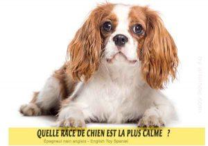 Quel-chien-est-le-plus-calme-36-Épagneul-nain-anglais---English-Toy-Spaniel
