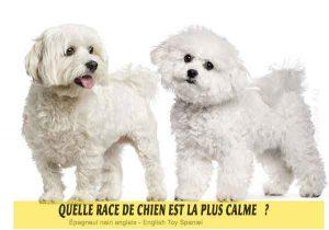 Quel-chien-est-le-plus-calme-37-Épagneul-nain-anglais---English-Toy-Spaniel