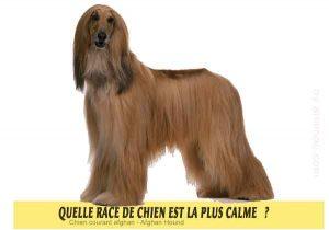 Quel-chien-est-le-plus-calme-39-Chien-courant-afghan---Afghan-Hound