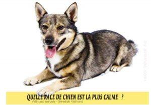 Quel-chien-est-le-plus-calme-40-Vallhund-suédois---Swedish-Vallhund
