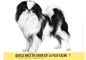 Quel-chien-est-le-plus-calme-41-Menton-japonais---Japanese-Chin