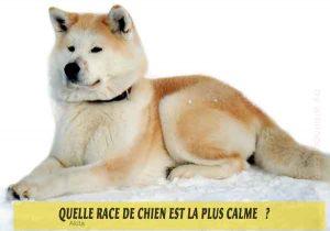 Quel-chien-est-le-plus-calme-42-Akita