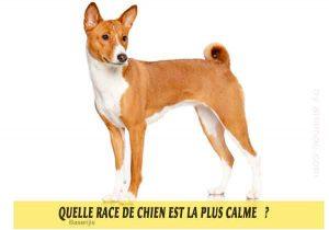 Quel-chien-est-le-plus-calme-44-Basenjis