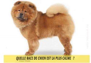 Quel-chien-est-le-plus-calme-45-Chow-Chows