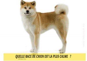 Quel-chien-est-le-plus-calme-47-Shiba-Inu