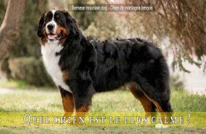 Quel-chien-est-le-plus-calme-Bernese-mountain-dog---Chien-de-montagne-bernois