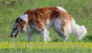Quel-chien-est-le-plus-calme-Borzoi