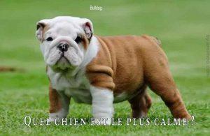 Quel-chien-est-le-plus-calme-Bulldog2