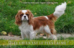 Quel-chien-est-le-plus-calme-Cavalier-King-Charles-spaniel---Épagneul-Cavalier-King-Charles