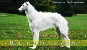 Quel-chien-est-le-plus-calme-Scottish-deerhound---Chien-de-chasse-écossais