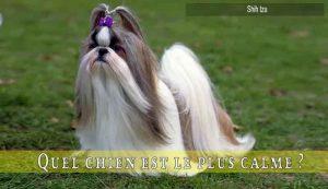 Quel-chien-est-le-plus-calme-Shih-tzu